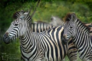 Zebras - Adaobi Savannah